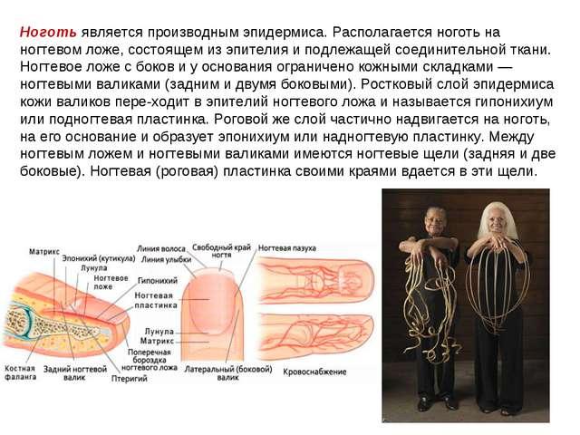 Ноготь является производным эпидермиса. Располагается ноготь на ногтевом ложе...