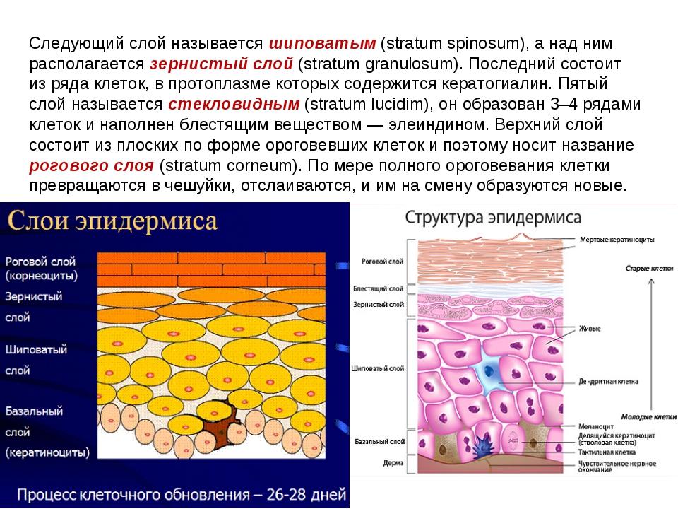 Следующий слой называется шиповатым (stratum spinosum), а над ним располагает...