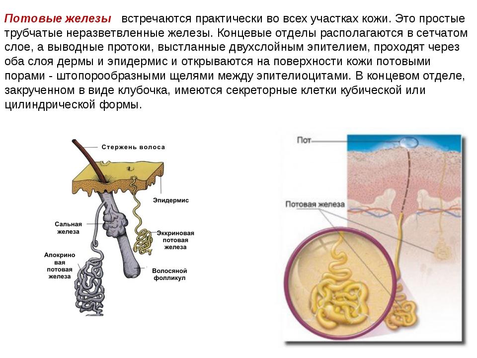 Потовые железы встречаются практически во всех участках кожи. Это простые тру...