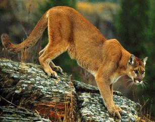 cougar5.jpg