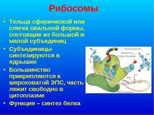 Рибосомы Тельца сферической или слегка овальной формы, состоящие из большой и