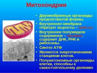 Митохондрии Двумембранные органоиды продолговатой формы. Внутренняя мембрана