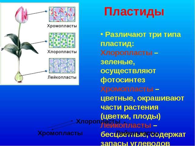 Пластиды Различают три типа пластид: Хлоропласты – зеленые, осуществляют фото...
