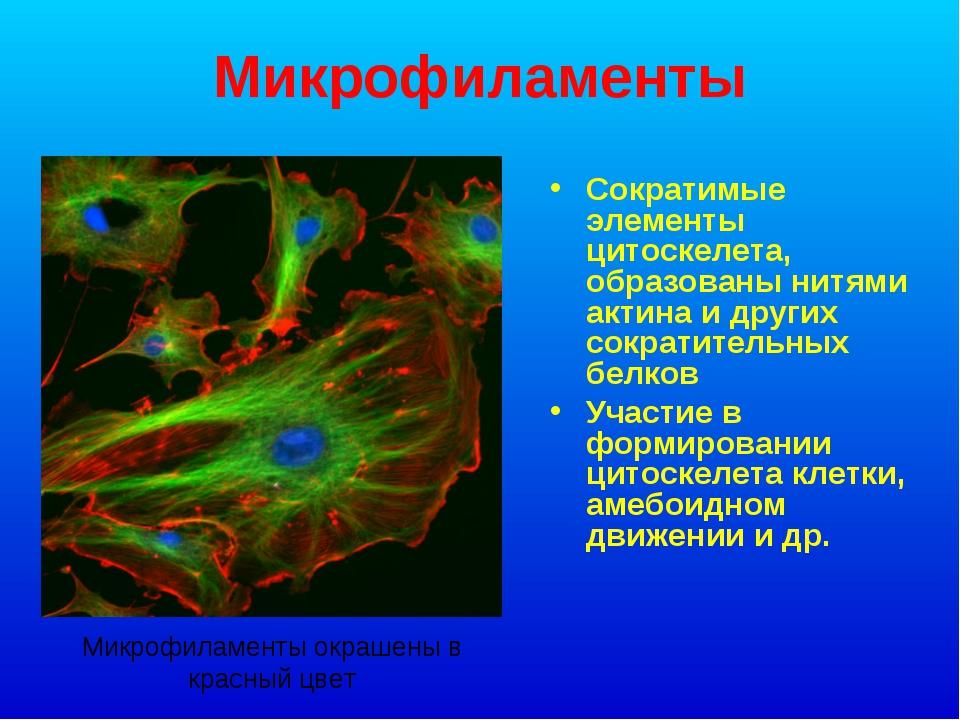 Микрофиламенты Сократимые элементы цитоскелета, образованы нитями актина и др...