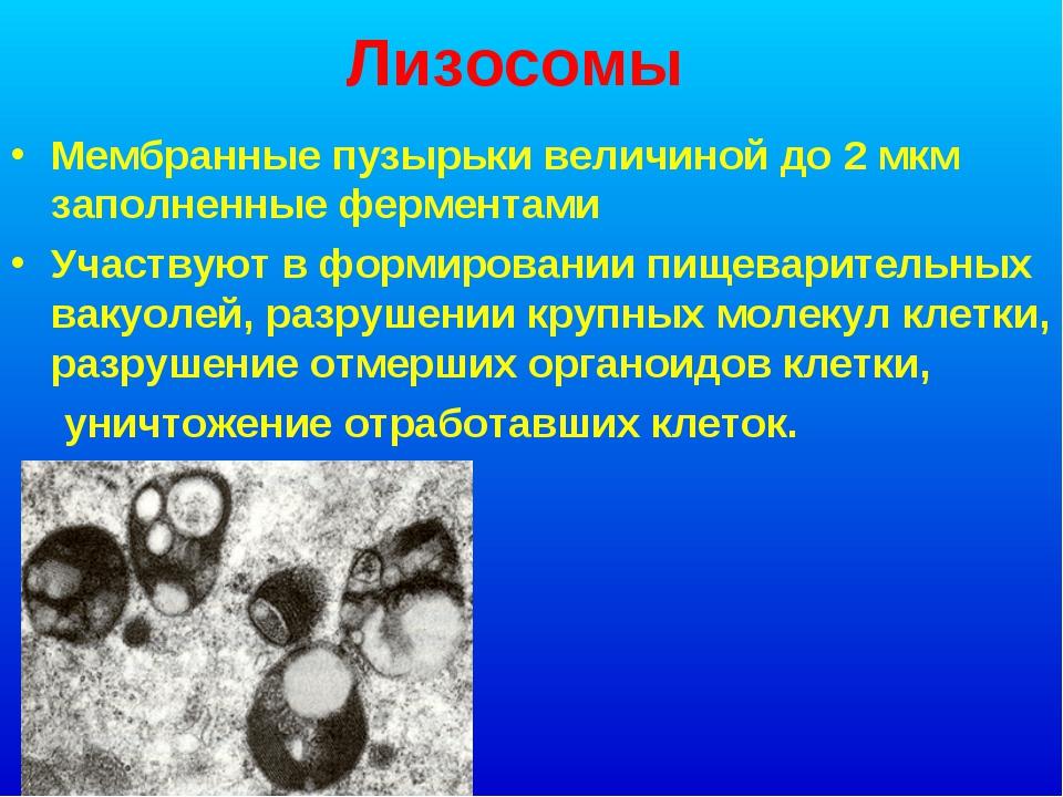 Лизосомы Мембранные пузырьки величиной до 2 мкм заполненные ферментами Участв...