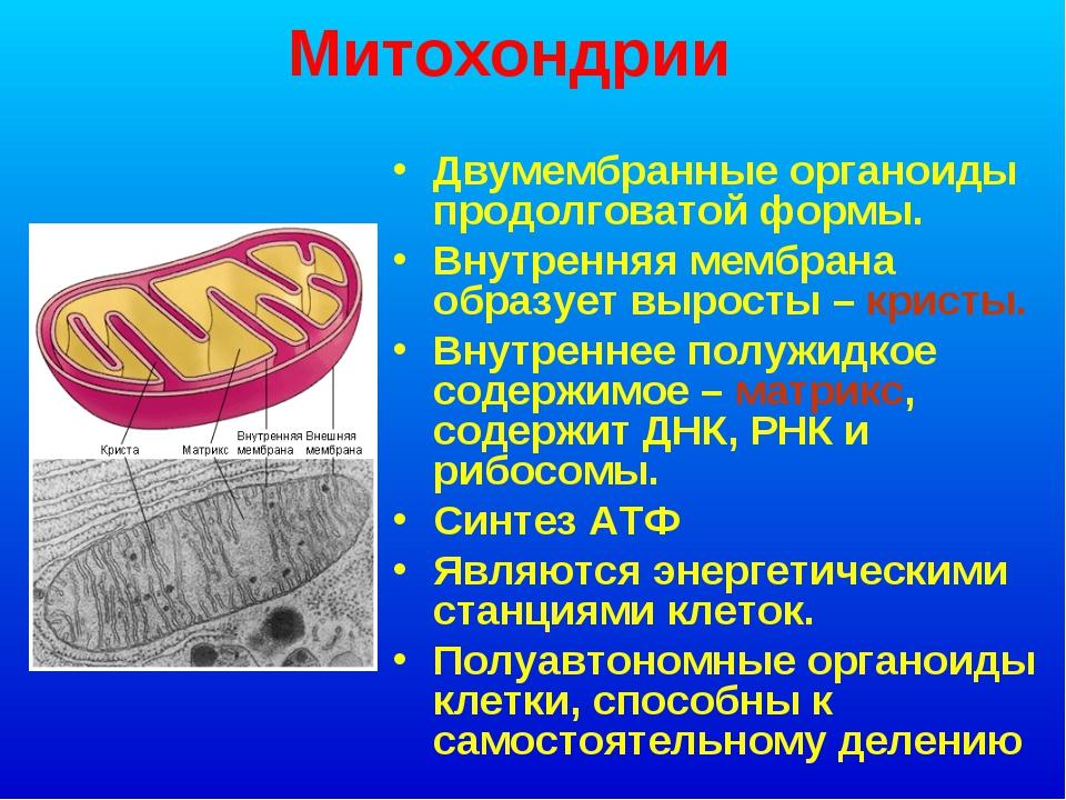 Митохондрии Двумембранные органоиды продолговатой формы. Внутренняя мембрана...