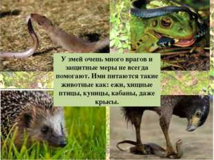 У змей очень много врагов и защитные меры не всегда помогают.Ими питаются та