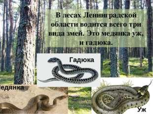 В лесах Ленинградской области водится всего три вида змей. Это гадюка, медянк