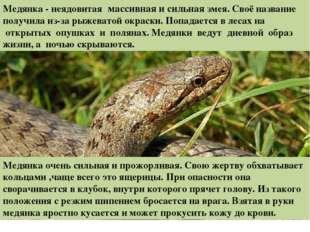 Медянка - неядовитая массивная и сильная змея.Своё название получила из-за