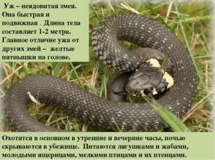 Уж – неядовитая змея. Она быстрая и подвижная . Длина тела составляет 1-2