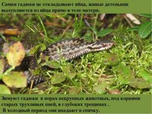 Самки гадюки неоткладывают яйца, живые детеныши вылупляются изяйца прямо в