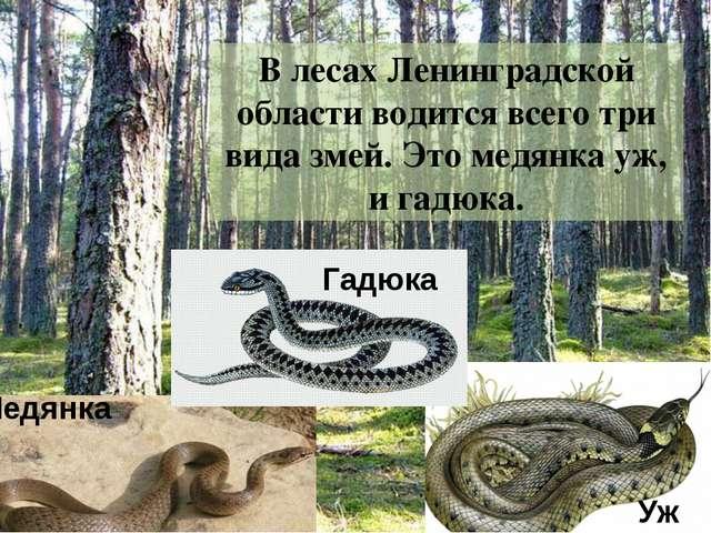 В лесах Ленинградской области водится всего три вида змей. Это гадюка, медянк...