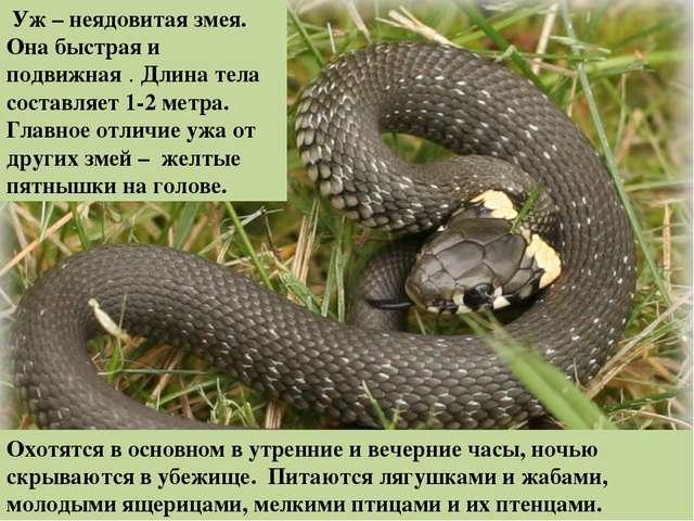 Уж – неядовитая змея. Она быстрая и подвижная . Длина тела составляет 1-2...