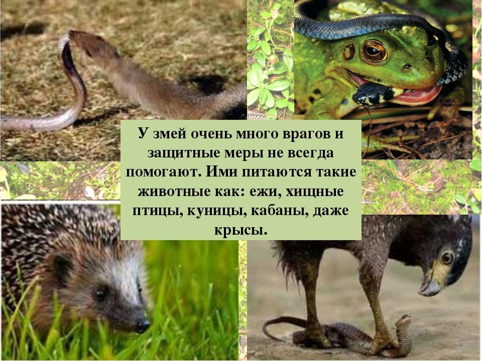 У змей очень много врагов и защитные меры не всегда помогают.Ими питаются та...