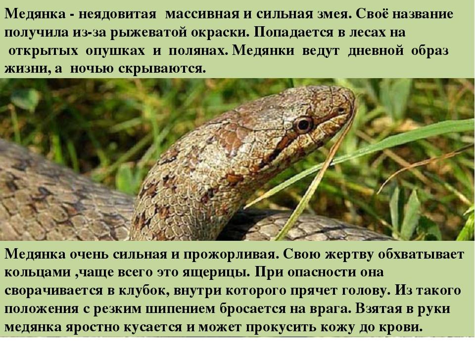 Медянка - неядовитая массивная и сильная змея.Своё название получила из-за...
