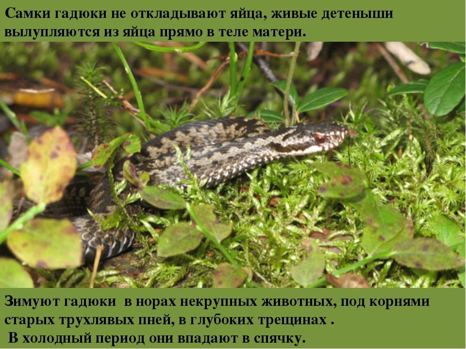 Самки гадюки неоткладывают яйца, живые детеныши вылупляются изяйца прямо в...