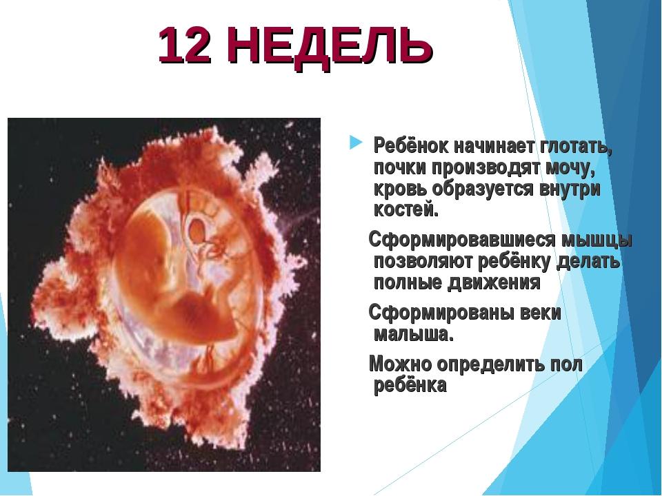 12 НЕДЕЛЬ Ребёнок начинает глотать, почки производят мочу, кровь образуется в...