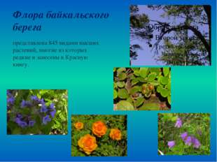 Флора байкальского берега представлена 845 видами высших растений, многие из