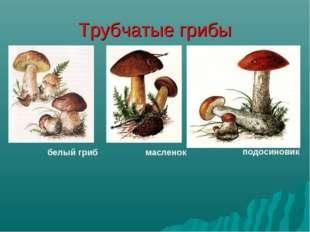 Трубчатые грибы белый гриб масленок подосиновик