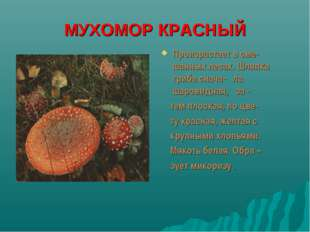 МУХОМОР КРАСНЫЙ Произрастает в сме-шанных лесах. Шляпка гриба снача- ла шаров