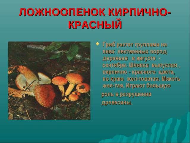 ЛОЖНООПЕНОК КИРПИЧНО-КРАСНЫЙ Гриб растет группами на пнях лиственных пород де...
