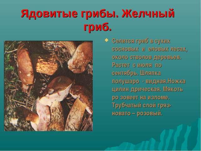 Ядовитые грибы. Желчный гриб. Селится гриб в сухих сосновых и еловых лесах, о...