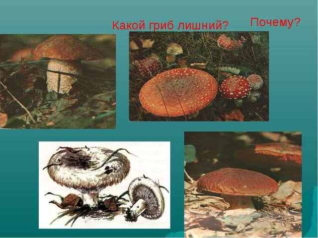 Какой гриб лишний? Почему?