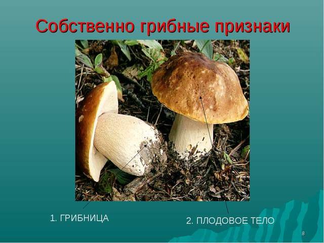 * Собственно грибные признаки 1. ГРИБНИЦА 2. ПЛОДОВОЕ ТЕЛО