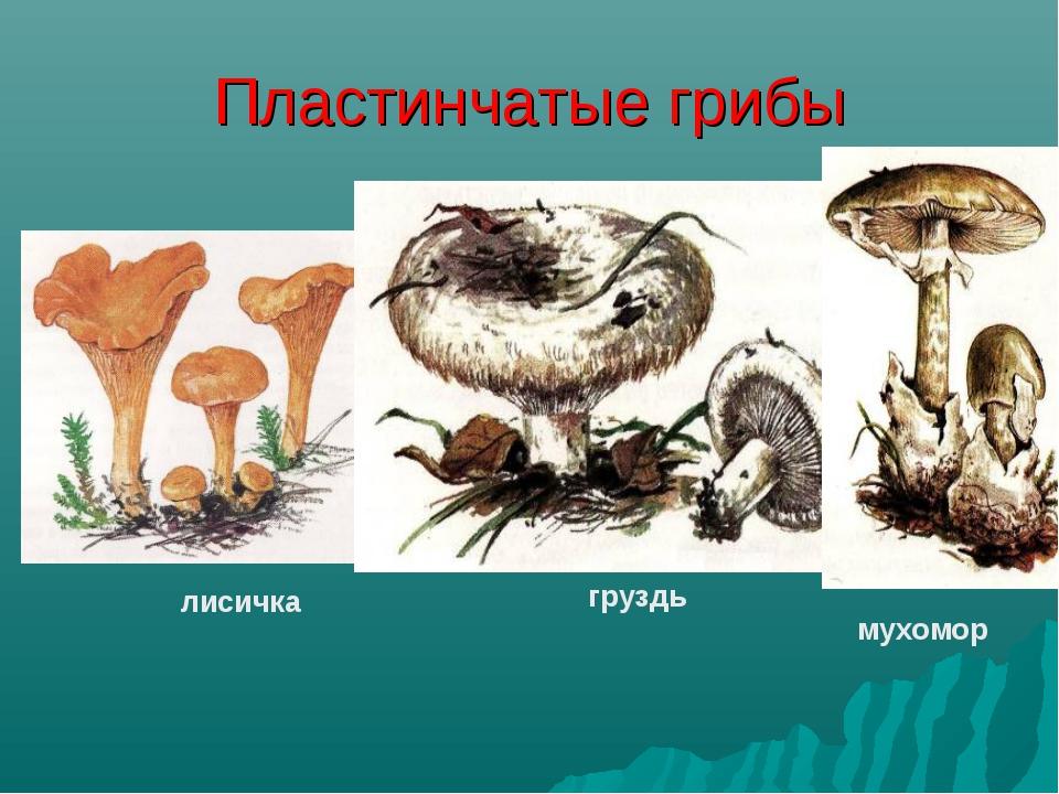 Пластинчатые грибы лисичка груздь мухомор