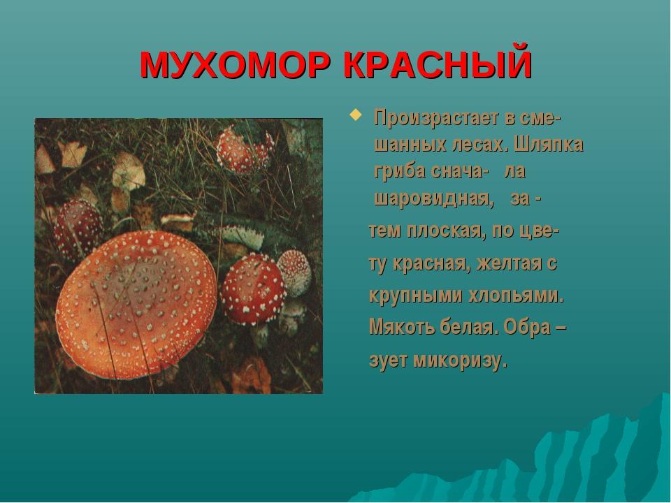 МУХОМОР КРАСНЫЙ Произрастает в сме-шанных лесах. Шляпка гриба снача- ла шаров...