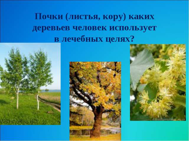 Почки (листья, кору) каких деревьев человек использует в лечебных целях?