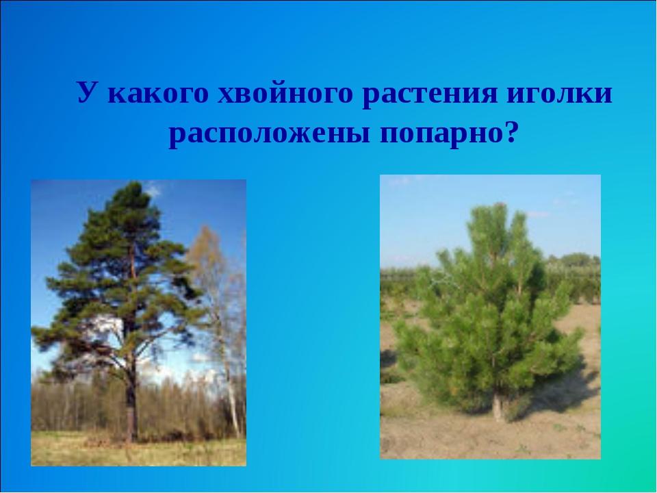 У какого хвойного растения иголки расположены попарно?