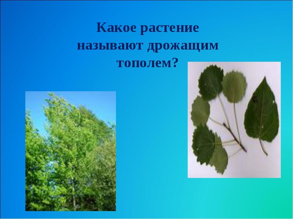 Какое растение называют дрожащим тополем?