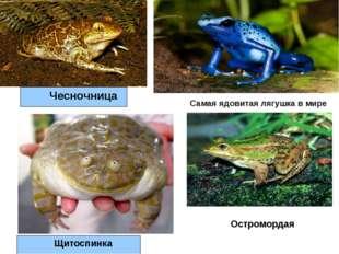 Чесночница Щитоспинка Самая ядовитая лягушка в мире Остромордая