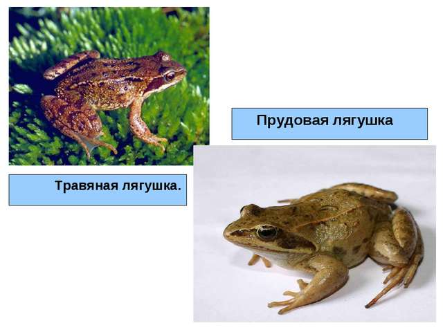 Травяная лягушка. Прудовая лягушка