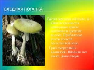 Растет местами обильно, но чаще встречаются одиночные грибы, особенно в средн