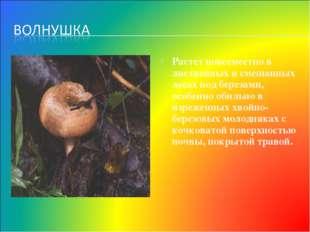 Растет повсеместно в лиственных и смешанных лесах под березами, особенно обил