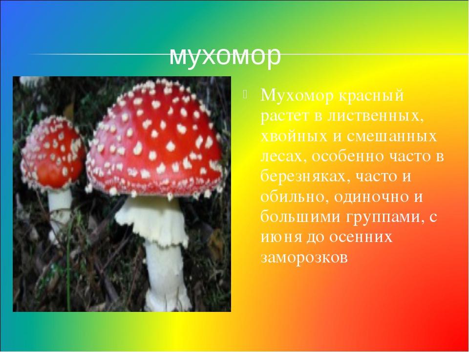 Мухомор красный растет в лиственных, хвойных и смешанных лесах, особенно част...