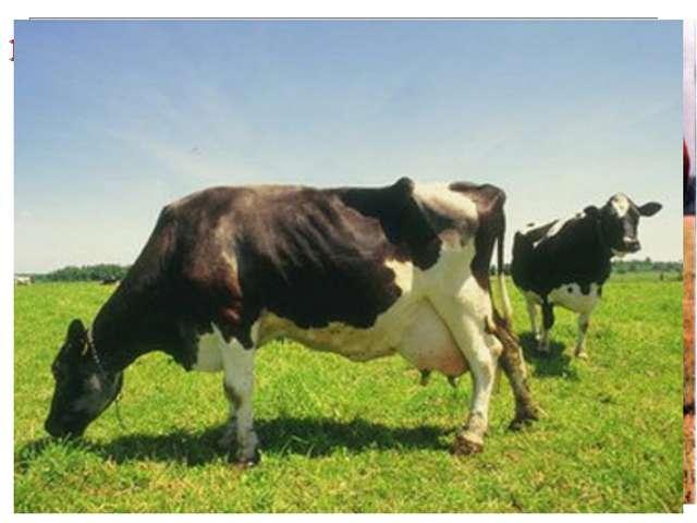 1) Крупный рогатый скот – 1/3 производства мяса (1,4 млрд голов) Молочное нап...