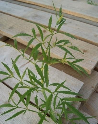 Вех ядовитый(цикута)-листья. Фото АПК Витус