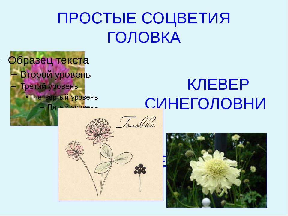 ПРОСТЫЕ СОЦВЕТИЯ ГОЛОВКА КЛЕВЕР СИНЕГОЛОВНИК ЦЕФАЛЯРИЯ