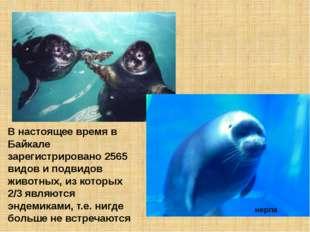 В настоящее время в Байкале зарегистрировано 2565 видов и подвидов животных,