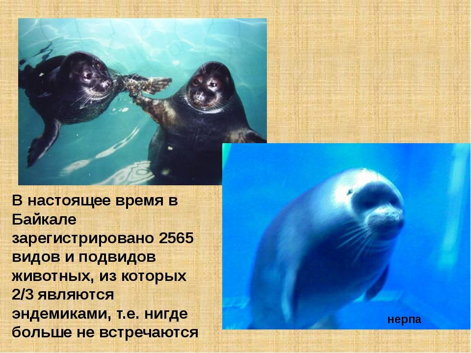 В настоящее время в Байкале зарегистрировано 2565 видов и подвидов животных,...