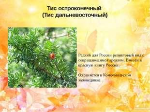 Тис остроконечный (Тис дальневосточный) Редкий для России реликтовый вид с со