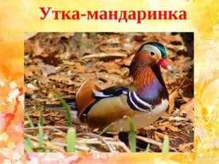 Утка-мандаринка