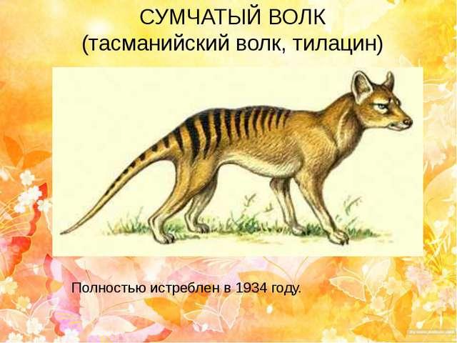 СУМЧАТЫЙ ВОЛК (тасманийский волк, тилацин) Полностью истреблен в 1934 году.