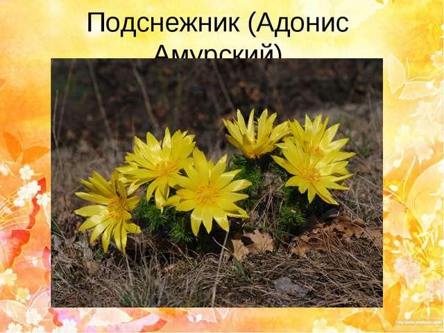 Подснежник (Адонис Амурский)