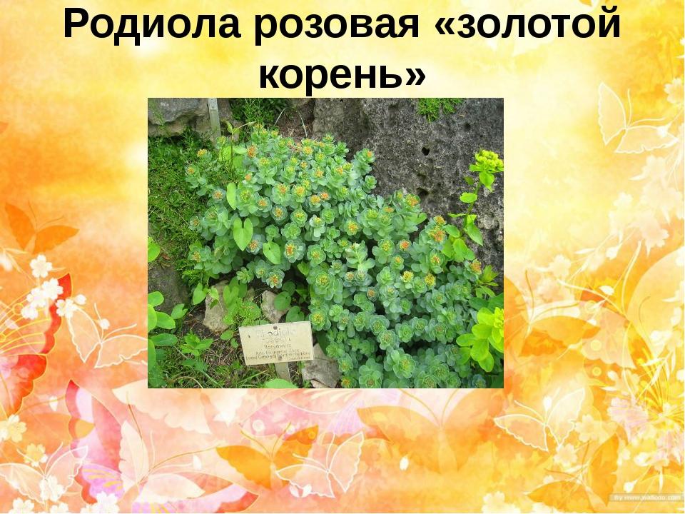 Родиола розовая «золотой корень»