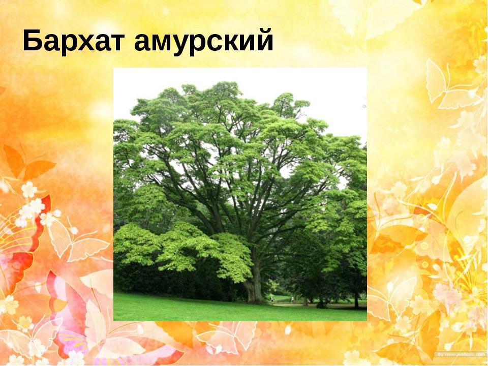 Бархат амурский