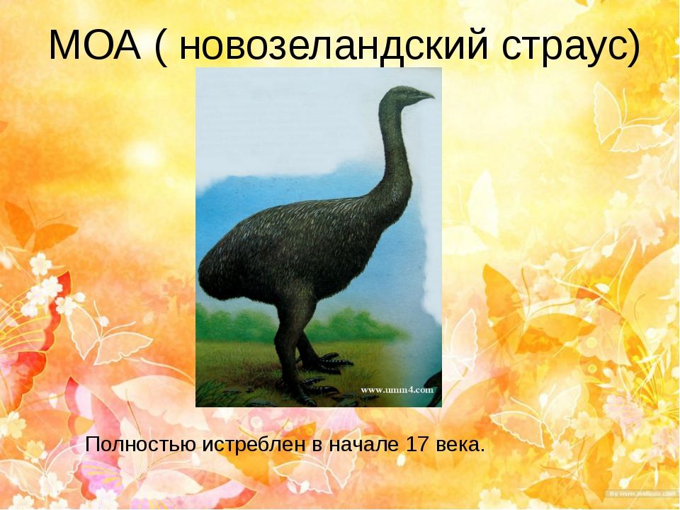 МОА ( новозеландский страус) Полностью истреблен в начале 17 века.